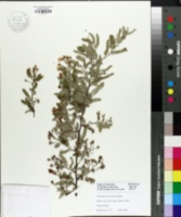 Image of Osteomeles schwerinae