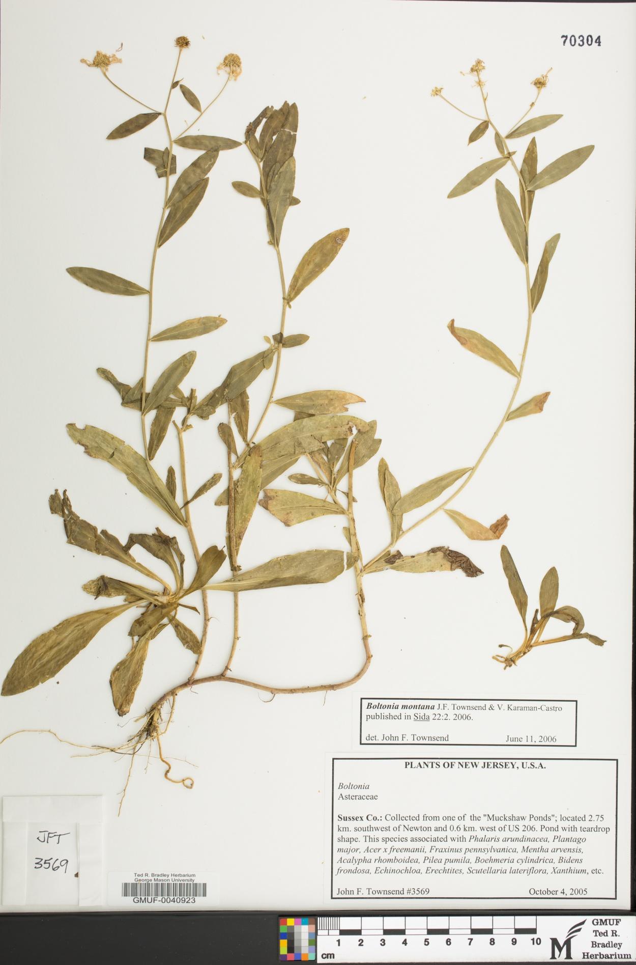 Boltonia montana image
