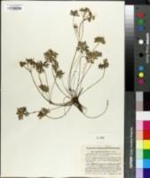Image of Geranium cruceroense