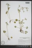 Ranunculus micranthus image