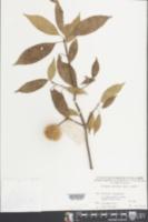 Sloanea sinensis image