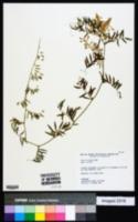 Vicia villosa subsp. villosa image