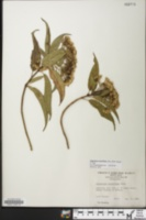 Image of Ageratina resiniflua
