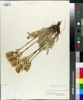 Image of Oxytropis spicata