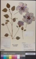 Image of Gossypium sturtianum