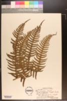 Image of Pteris excelsa