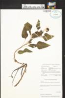 Helianthus debilis image