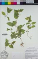 Erythranthe moschata image