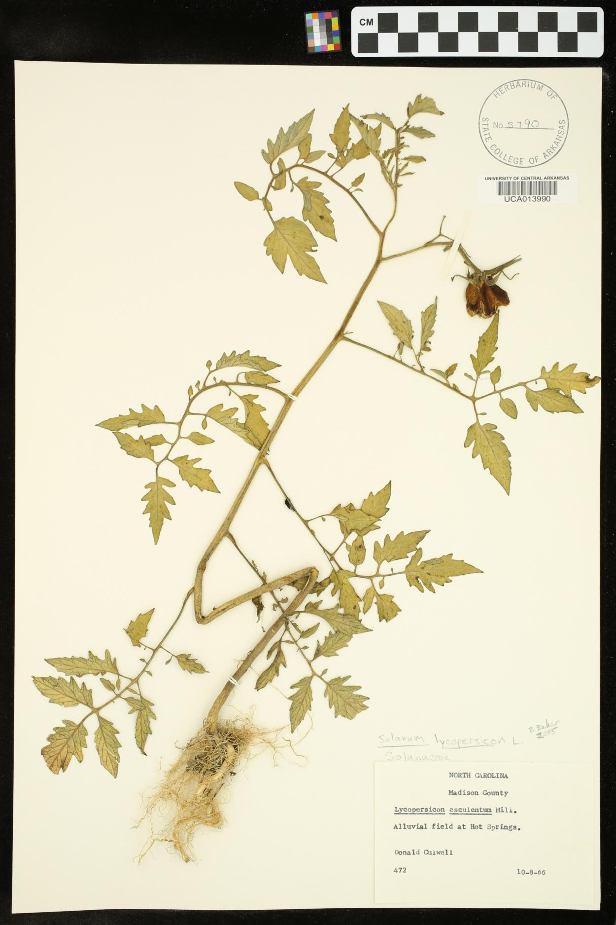Solanum lycopersicon image