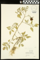 Image of Solanum lycopersicon