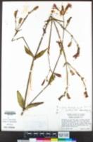 Silene laciniata image