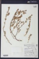 Image of Euphorbia mesembryanthemifolia