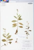 Erechtites hieracifolia image
