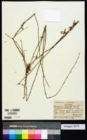 Image of Eriogonum virgatum