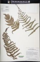 Amauropelta rupicola image