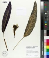 Image of Calathea lancifolia