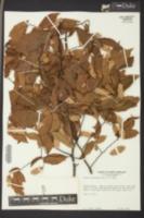 Ostrya virginiana image