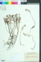 Proserpinaca pectinata image