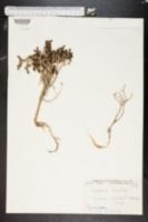 Image of Thymelaea hirsuta