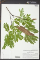 Albizia kalkora image
