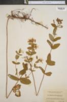 Image of Hypericum graveolens