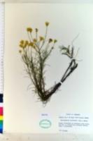 Image of Heterotheca pinifolia