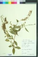 Buddleja japonica image