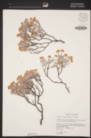 Eriogonum butterworthianum image