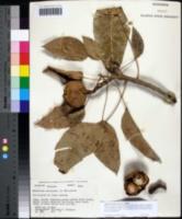 Image of Aleurites moluccanus