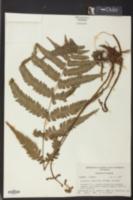 Image of Deparia japonica