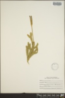 Lycopodium clavatum image