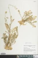 Rorippa sylvestris image