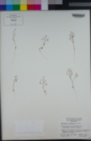 Nemacladus longiflorus image