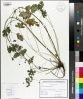 Image of Geranium pyrenaicum