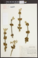 Image of Fraxinus latifolia