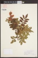 Image of Schinus terebinthifolia