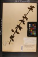 Calycanthus floridus var. glaucus image
