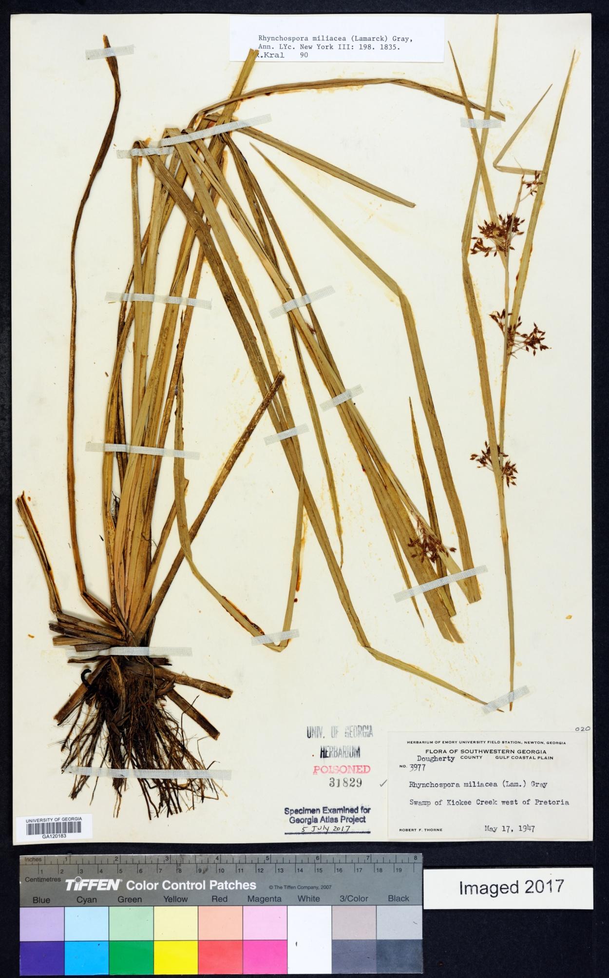 Rhynchospora miliacea image