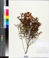 Hypericum densiflorum image