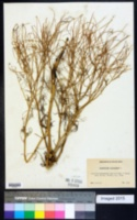 Sisymbrium altissimum image