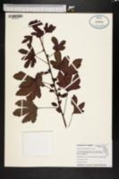 Image of Hibiscus acetosella