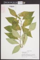 Euphorbia lancifolia image