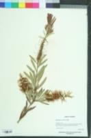 Callistemon citrinus image