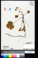 Image of Waldsteinia lobata