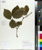 Calycanthus chinensis image
