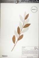 Image of Salix alaxensis