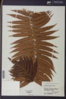 Cibotium chamissoi image