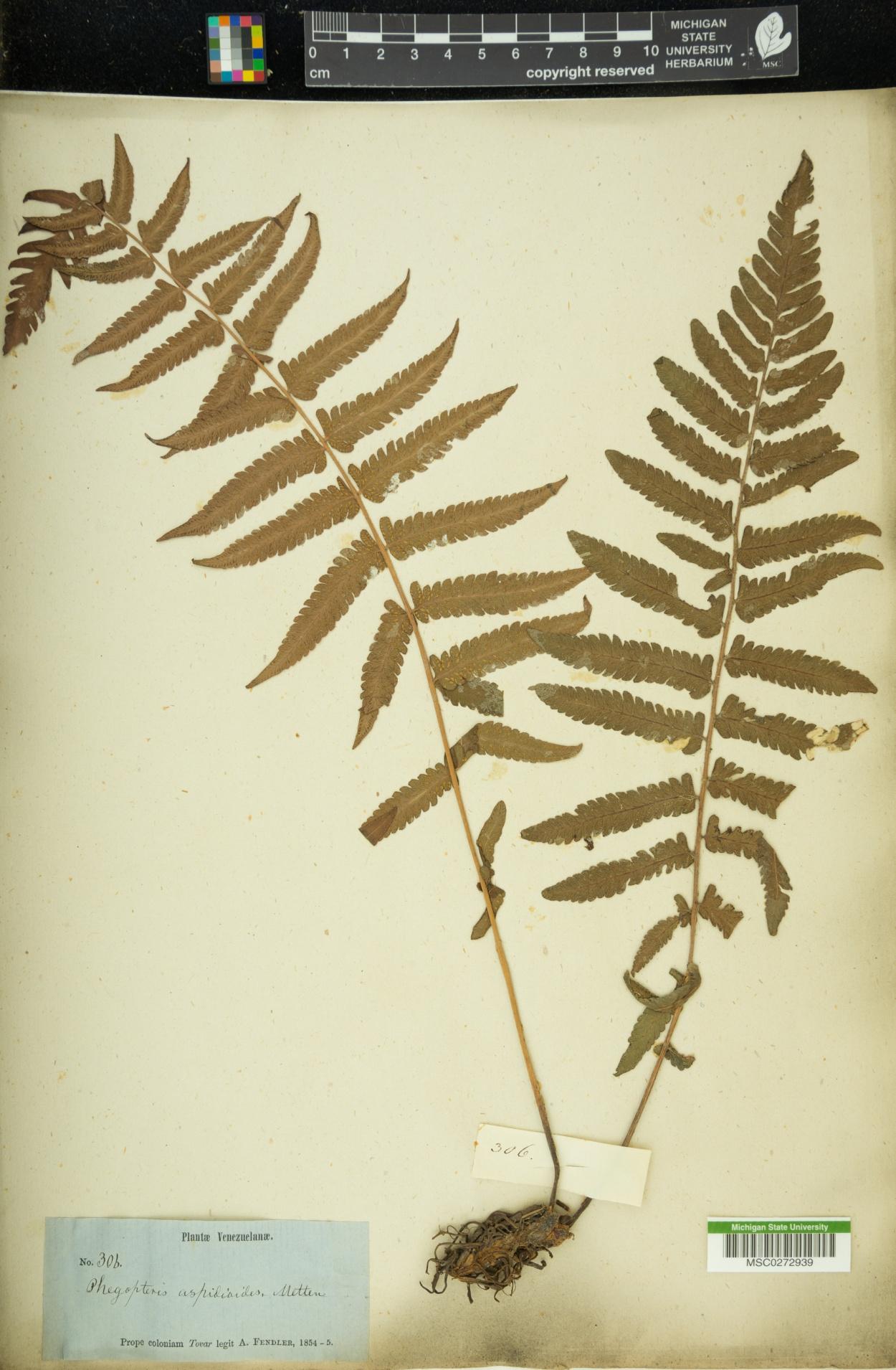 Phegopteris aspidioides image