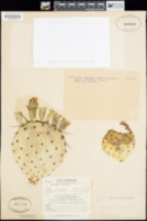 Opuntia azurea image