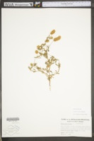 Trifolium arvense image